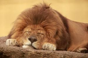 Lazy-Lion-300x198